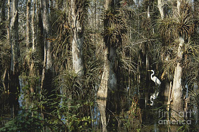 Epiphytic Bromeliads Photograph - Egret In Big Cypress by Mark Newman