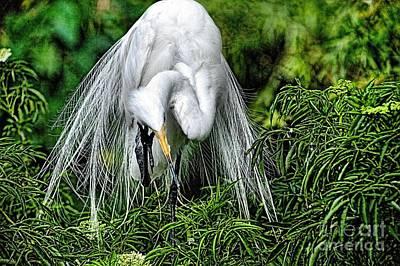 Photograph - Egret In Breeding Plumage_1 by Randy Matthews