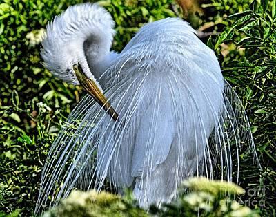 Photograph - Egret In Breeding Plumage_2 by Randy Matthews