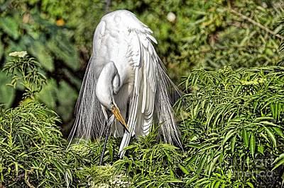 Photograph - Egret In Breeding Plumage_6 by Randy Matthews