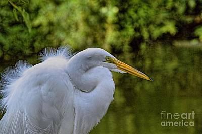 Photograph - Egret In Breeding Plummage_5 by Randy Matthews