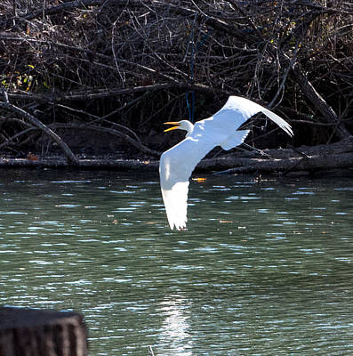 Photograph - Egret In Flight by John Johnson