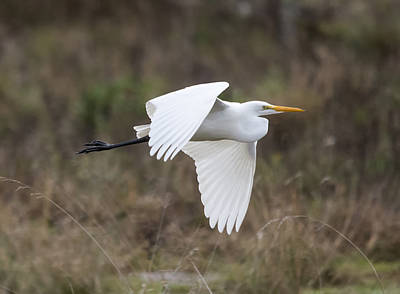 Photograph - Egret In Flight by Loree Johnson