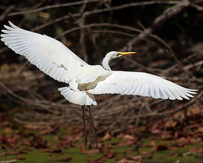 Australian Photograph - Egret In Flight by Mr Bennett Kent