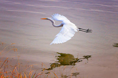 Photograph - Egret In Flight by Patricia Dennis