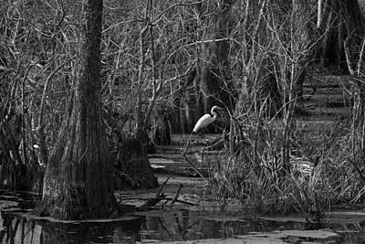 Photograph - Egret In The  Cajun Swamp by Ronald Olivier