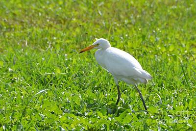 Photograph - Egret On The Green-no1 by Darla Wood