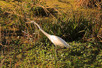 Photograph - Egret In The Louisiana Atchafalaya Basin by Ronald Olivier
