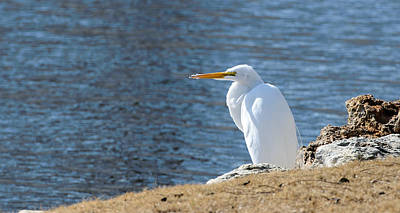 Photograph - Egret by John Johnson
