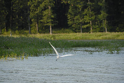 Photograph - Egret Lake Texoma by Charles Beeler
