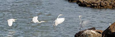 Photograph - Egret Landing 1 by Jeff Brunton