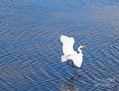 Feather Photograph - Egret Landing by Cathy Lindsey