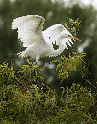 Photograph - Egret Launch by Joseph G Holland