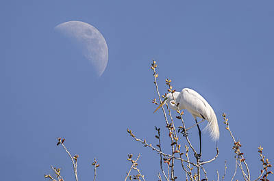 Photograph - Egret Mimicking The Moon by Loree Johnson