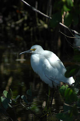 Photograph - Egret Of Sanibel Island by David Weeks