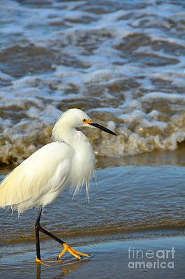 Photograph - Egret On A Beach Stroll by Debra Thompson
