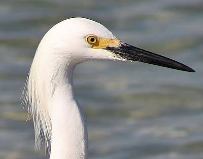 Photograph - Egret Portrait by Bruce Bley