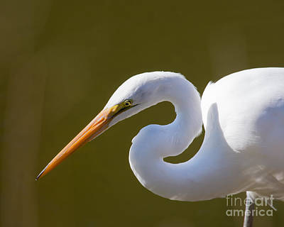Photograph - Egret Portrait by Dale Nelson