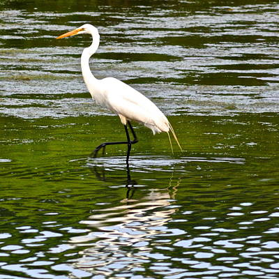 Photograph - Egret by Frozen in Time Fine Art Photography