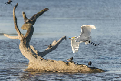Photograph - Egret Showing Off by Loree Johnson