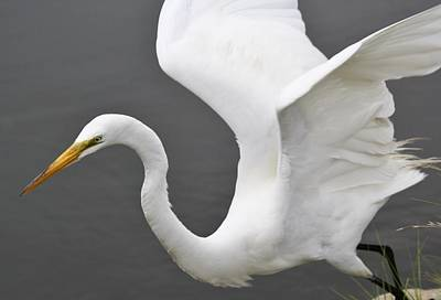 Egret Take Off Art Print by Paulette Thomas