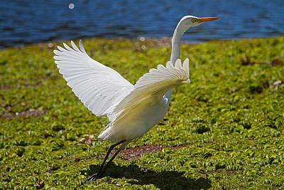 Australian Photograph - Egret Taking Off by Mr Bennett Kent