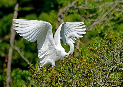Photograph - Egret Wings by Kathy Baccari