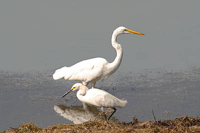 Bob Wade Photograph - Egrets by Bob and Jan Shriner