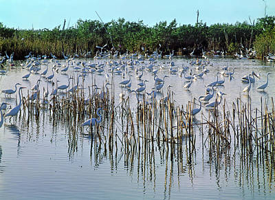 Photograph - 149838-egrets Feeding, Everglades Nat Park  by Ed  Cooper Photography