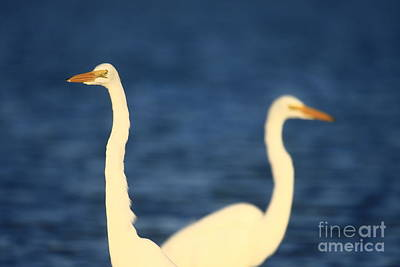 Photograph - Great Egret Impressions by John F Tsumas