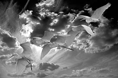 Egrets In Succession Bw Art Print