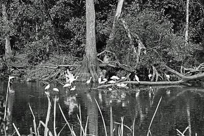 Photograph - Egrets In The Atchafalaya Swamp by Ronald Olivier
