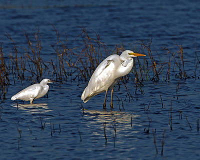 Photograph - Egrets  by Paul Scoullar