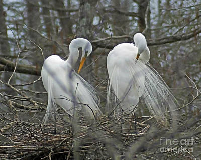 Photograph - Egrets Preening  Lake Martin Louisiana by Lizi Beard-Ward