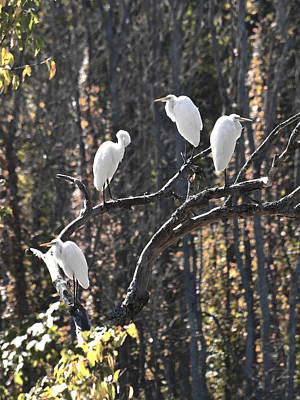 Egrets Art Print by Valerie Wolf
