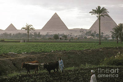 Photograph - Egypt: Farming, C1970 by Granger