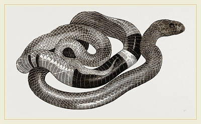Cobra Drawing - Egyptian Cobra Or Asp by Litz Collection