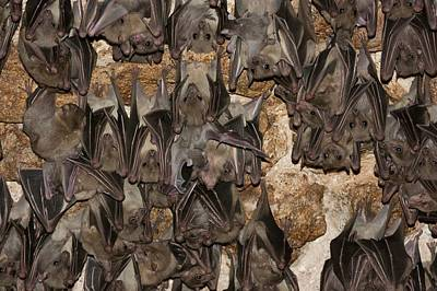 Roost Photograph - Egyptian Fruit Bat Rousettus Aegyptiacus by Photostock-israel