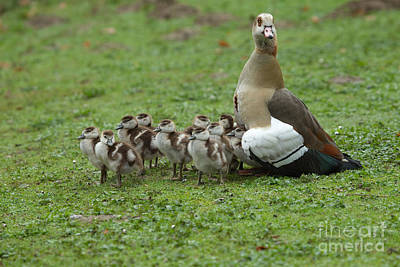 Egyptian Goose And Goslings Art Print by Helmut Pieper