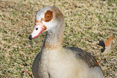 Egyptian Goose  Print by Shoal Hollingsworth