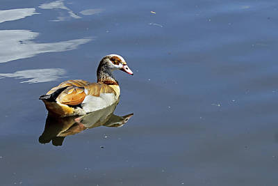 Photograph - Egyptian Goose by Tony Murtagh