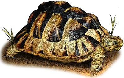 Photograph - Egyptian Tortoise by Roger Hall