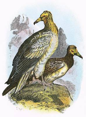 Egyptian Vulture Print by English School