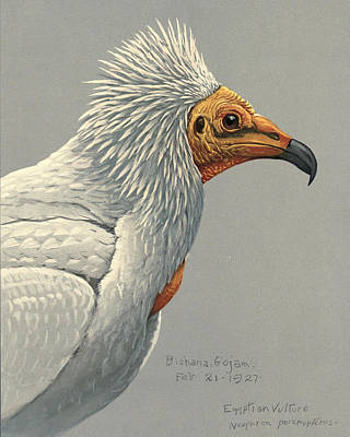 African Wild Birds Painting - Egyption Vulture by Rob Dreyer