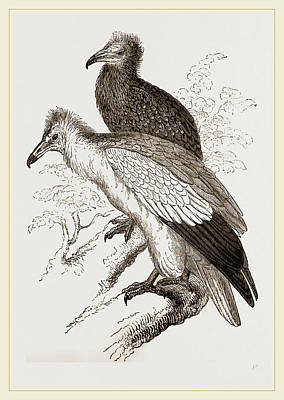 Vulture Drawing - Egyytian Vultures by Litz Collection