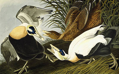 Duck Drawing - Eider Ducks by John James Audubon