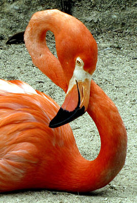 Photograph - Figure Eight Flamingo by Bob Slitzan