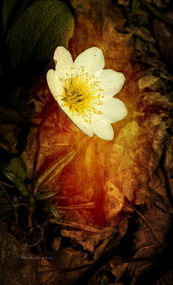 Photograph - Eight Petal Dryas by Fred Denner