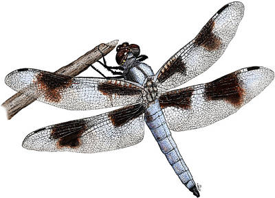 Photograph - Eight-spotted Skimmer Dragonfly by Roger Hall