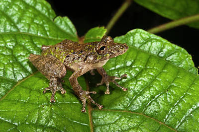 Frog Photograph - Eirunepe's Snouted Frog (scinax Garbei by Pete Oxford